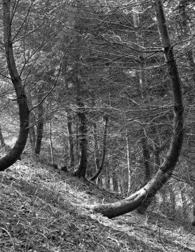 Bent Spruce